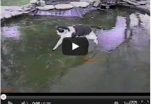 katt jagar fisk