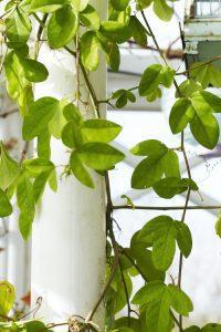 Anne Lundberg har många vackra växter i orangeriet