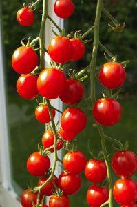 Att bygga växthus öppnar för tomatodling