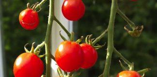 Odla i växthus-tomater