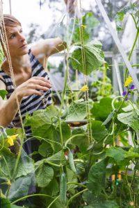 Odla i växthus-tomatplantor