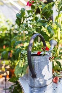Odla i växthus-vattenkanna