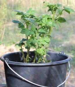 odla potatis i hink eller spann