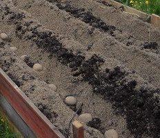 odla potatis i sand i marken