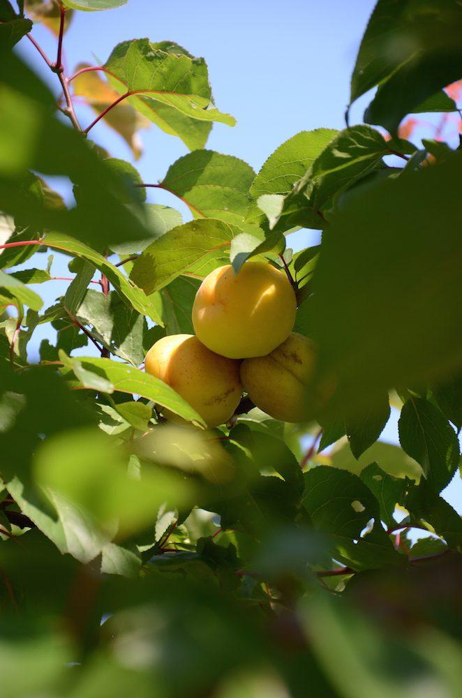 Medelhavsväxter - aprikos