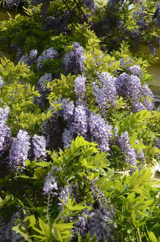 Medelhavsväxter - blåregn