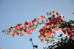 medelhavsväxter - bougainvillea
