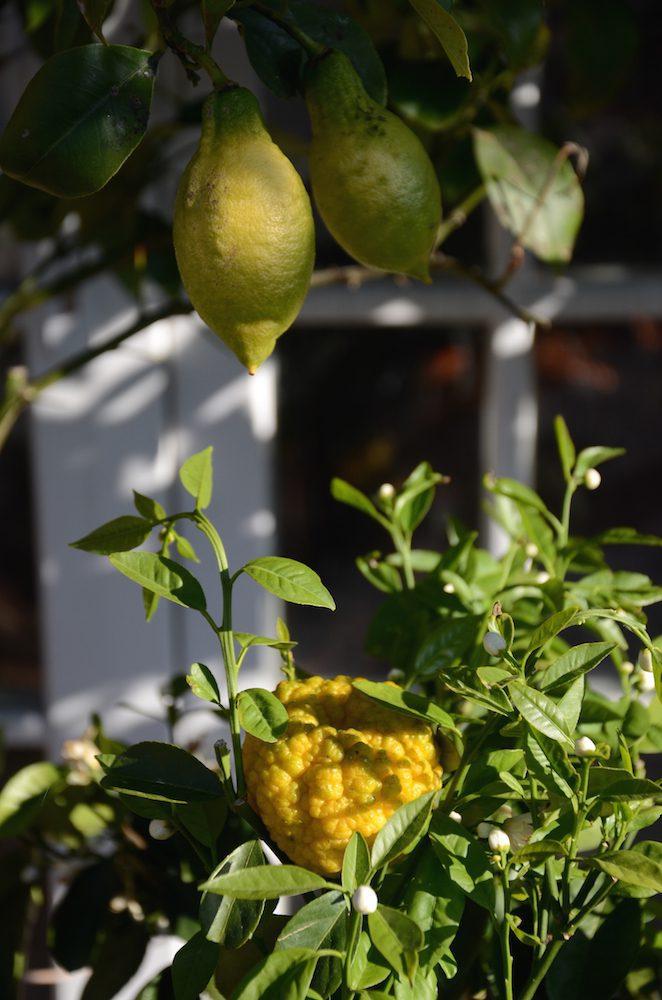 medelhavsväxt - citron