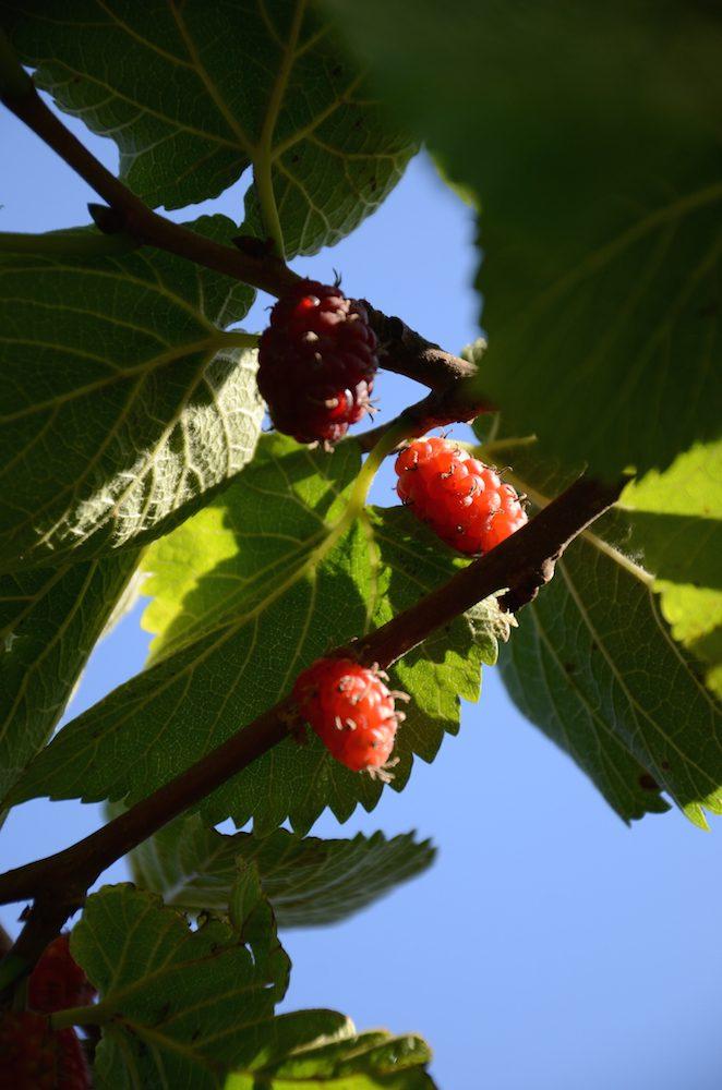 mullbär - medelhavsväxter