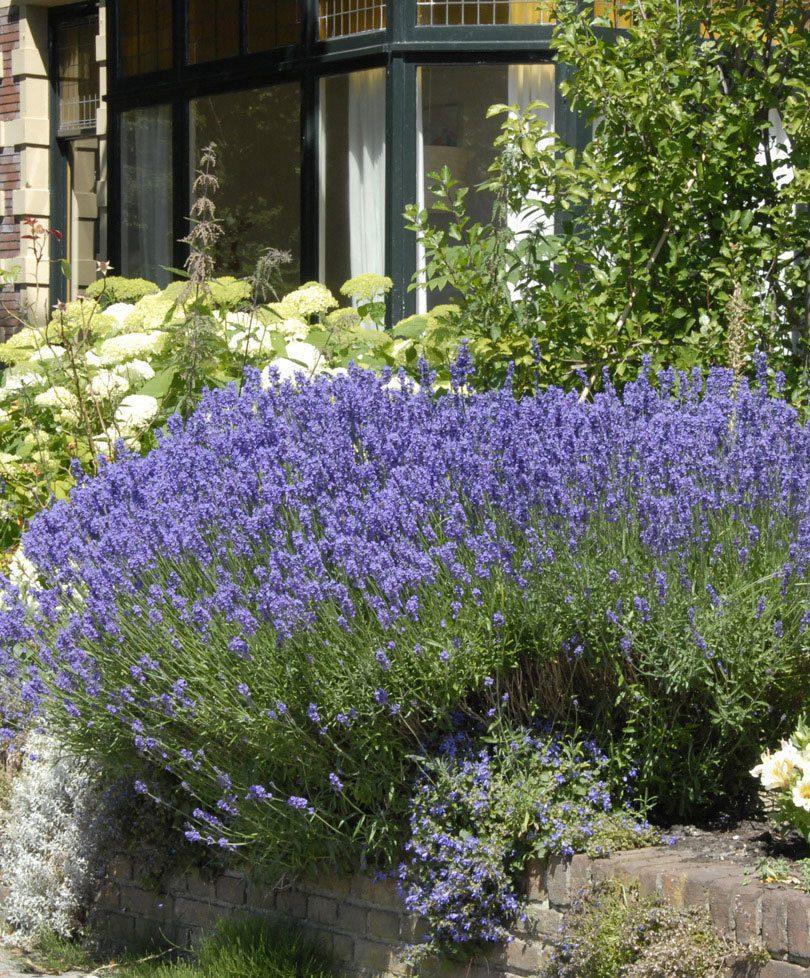 Bakker.com Lavendel 'Munstead'