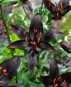 Bakker.com Asiatisk lilja 'Queen of the Night'