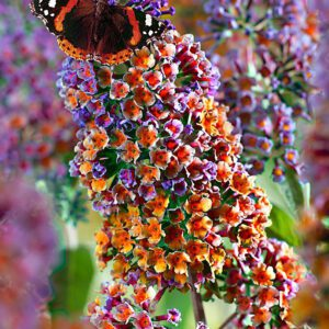 Bakker.com Syrenbuddleja 'Flower Power'
