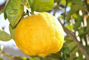 odla citronträd inomhus - citron