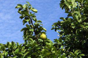 odla citronträd inomhus