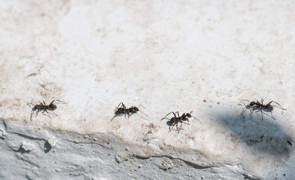 få bort myror i huset