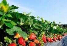 plantera jordgubbar i trädgården