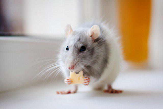 råttor i huset