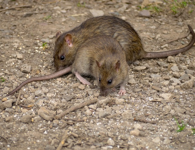 råttor i trädgården