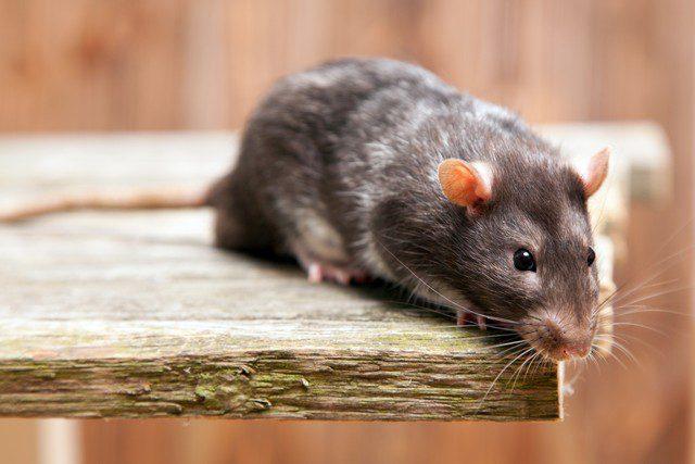 råtta inomhus