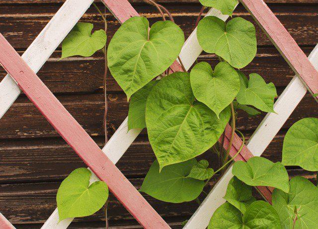 bygga spalje för klätterväxter