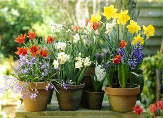 plantera vårlökar