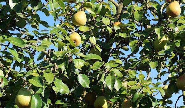 beskära fruktträd