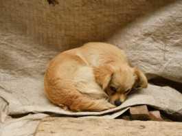 adoptera hund