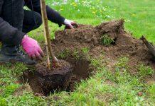 plantera träd