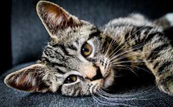 katthår möbler