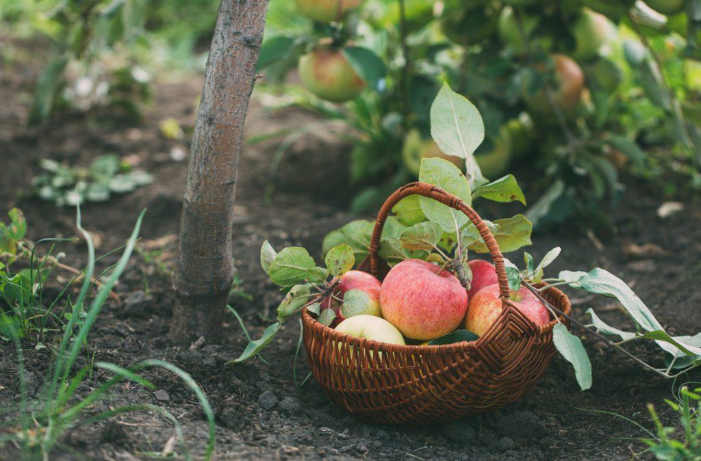 Om äppelträd och andra vanliga fruktträd
